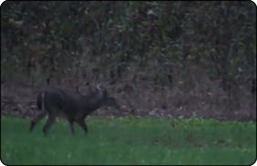 WeHuntSC.com - Buck in the Tecomate Seed Food Plot