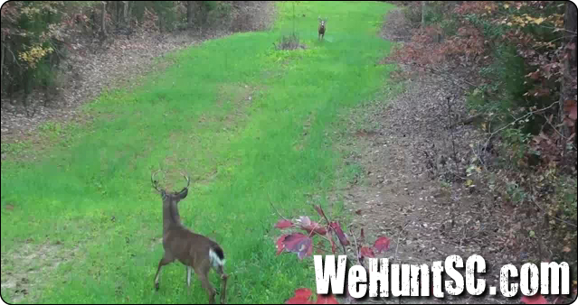 WeHuntSC.com - The buck spotting the decoy and getting scared