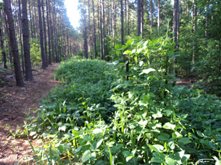 WeHuntSC.com - Remote Food Plot Image