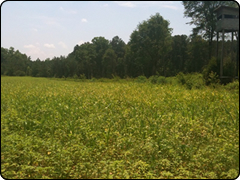 WeHuntSC.com - Food Plot Location 1 Update Image - Filled with weeds