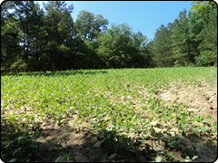 WeHuntSC.com - Food Plot Location 2 Image