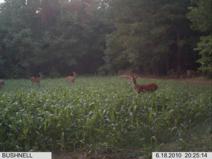 WeHuntSC.com - Deer in Tecomate Seed Food Plot