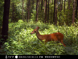 WeHuntSC.com - A doe in the Tecomate Seed Remote Food Plot