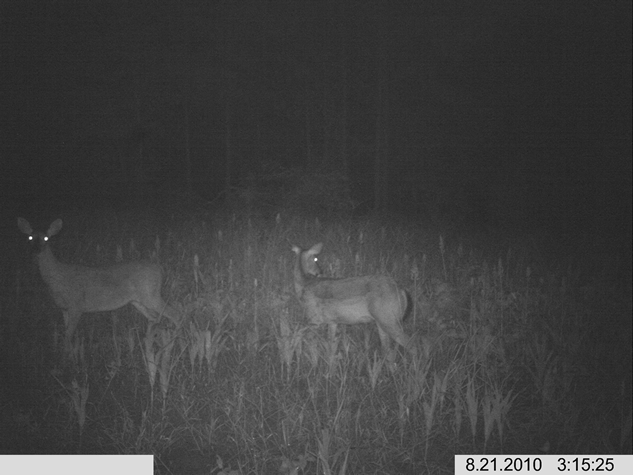 WeHuntSC.com - Does in the Tecomate Seed Food Plot - Night Pic