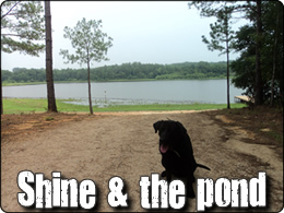 WeHuntSC.com- Shine the Duck Dog