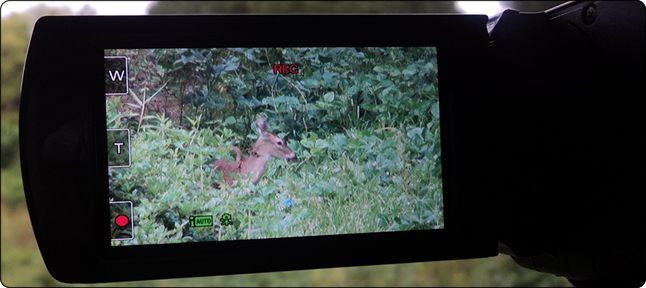WeHuntSC.com - A closeoup of the doe eating soybeans in the food plot