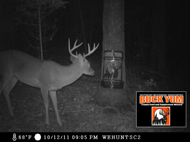 WeHuntSC.com - Buck eating BuckYum Supplemental Feed & Attractant