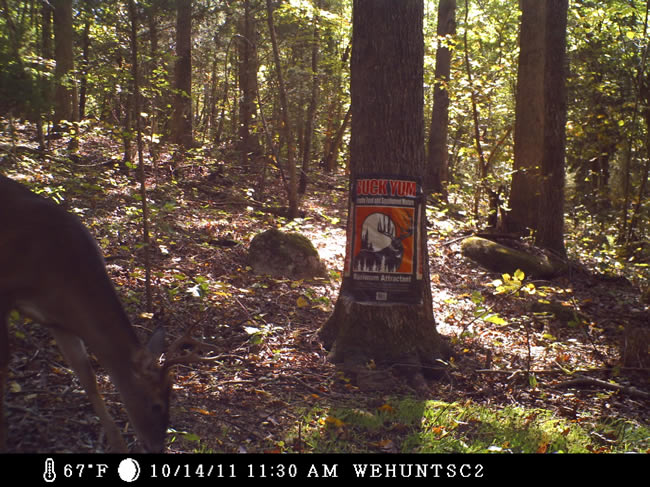 WeHuntSC.com - Deer eating BuckYum Supplemental Feed & Attractant