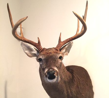 Mount Received From Sutton's Taxidermy