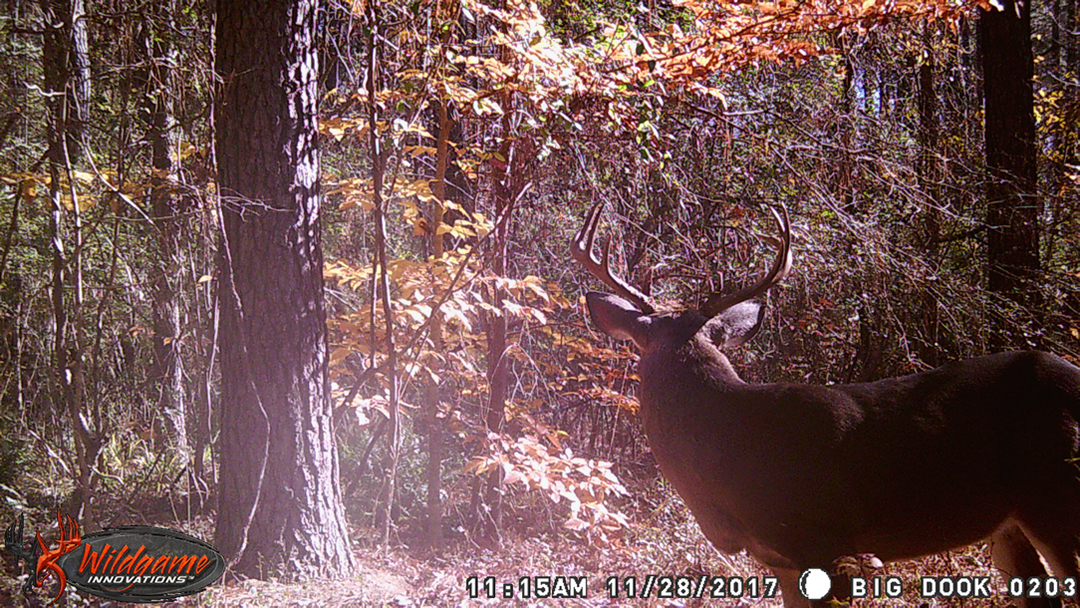 The split brow tine buck on game cam in the daylight